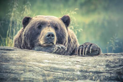 Brown Bear Resting on Tree Log #339284