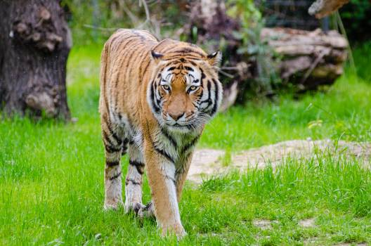 Orange and Black Bengal Tiger Walking on Green Grass Field during Daytime #339332