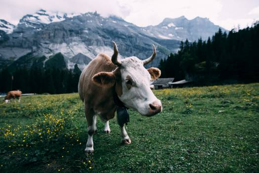 White and Brown Cow Near Mountain during Daytime #33944