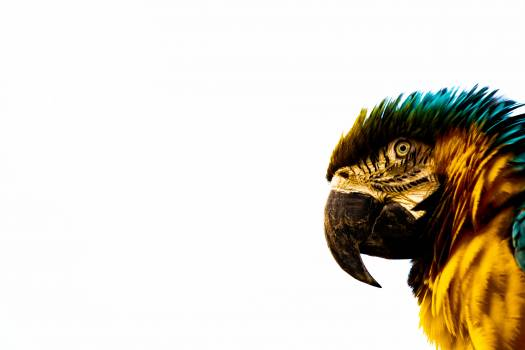 Blue-and-yellow Macaw Free Photo