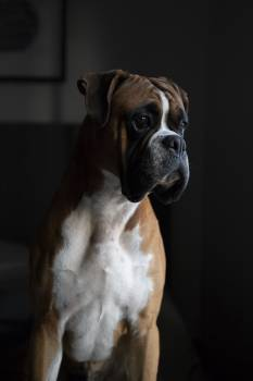 Closeup Photography of Tan and White Boxer #339536