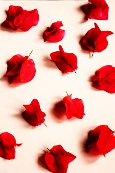 Red Petaled Flowers Free Photo