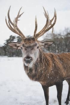 Brown Deer Standing on Snow Free Photo