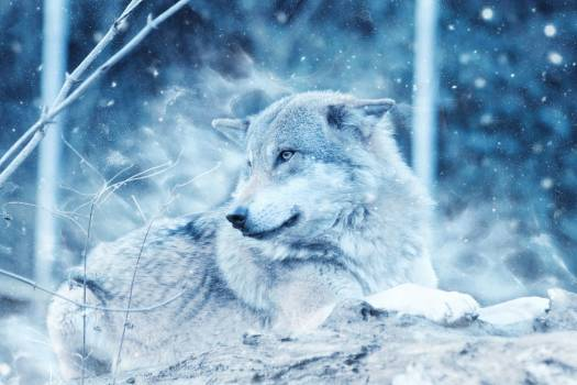 Gray Wolf on Rock #339866
