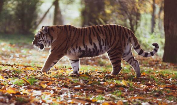 Gray and Black Tiger Walking on Forest #340063