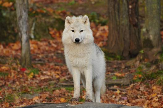 White and Black Wolf #340319