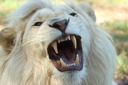 White Long Coat Lion #34038