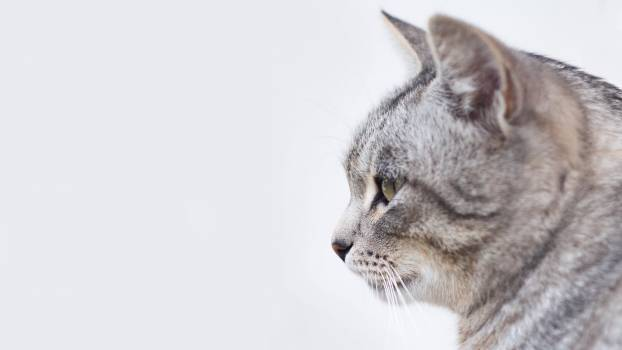 Tabby Cat Side View #34040