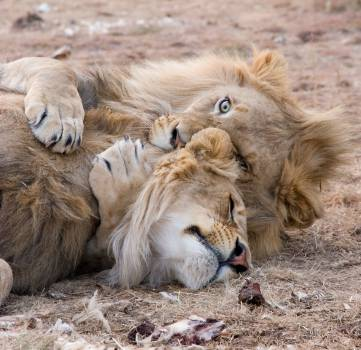 Two Brown Lions Lying on Grass Free Photo