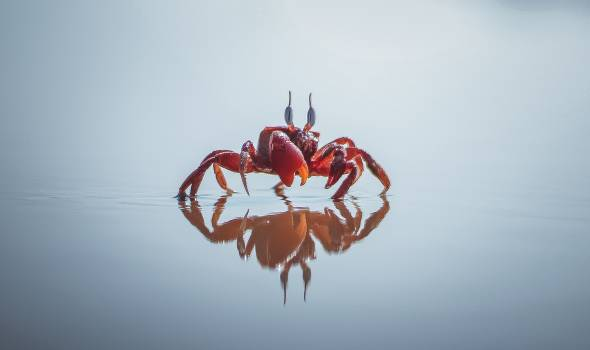 Red Crab #340884