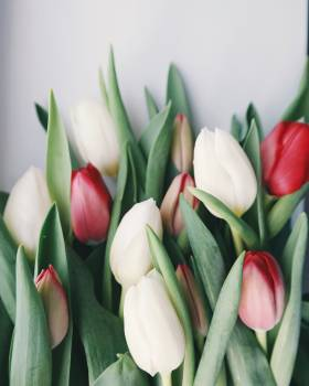 Selective Focus Photography of White and Red Tulip Flowers #341255