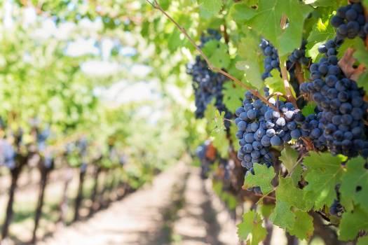 Grapes on Vineyard during Daytime Free Photo