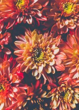 Orange Chrysanthemum Flowers in Closeup Photo #341313
