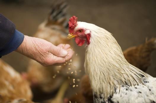 Person Feeding White Chicken Outdoor Free Photo