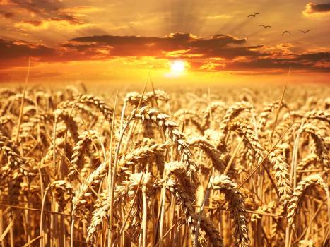 Wheat Field during Golden Hour #341535