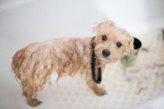 Cream Toy Poodle Puppy in Bathtub Free Photo