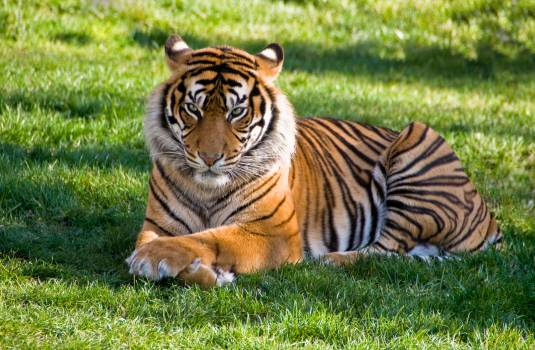Tiger lying on green grass #341595