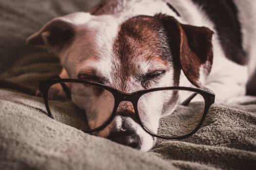 White and Brown Dachshund With Black Framed Eyeglasses Free Photo