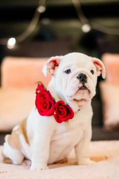 Photo of Bulldog With Roses #341964