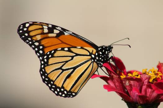 Female Monarch Butterfly Perching on Red Petal Flower Free Photo
