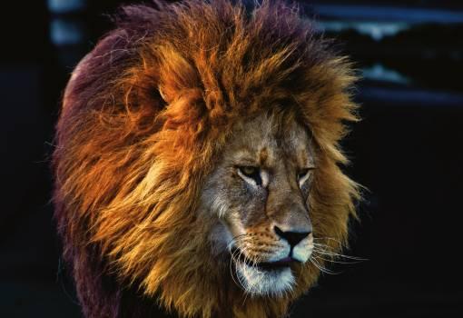 Brown Lion #342151