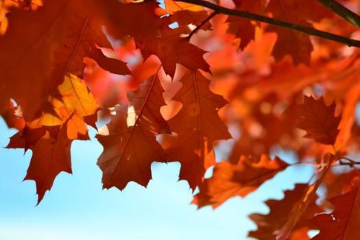 Orange Maple Tree during Daytime #34215