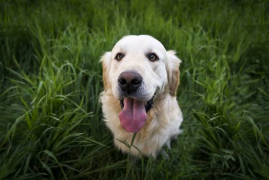 Light Golden Retriever Sitting on Green Grass during Daytime #34235