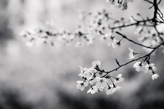 Flowers cherry #34256