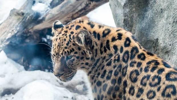 Jaguar Big cat Feline #343246