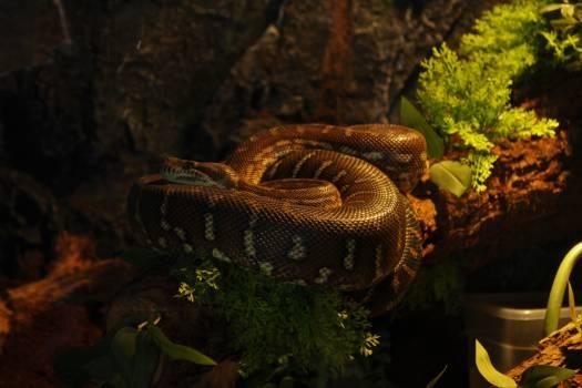 Snake Boa constrictor Boa #343260