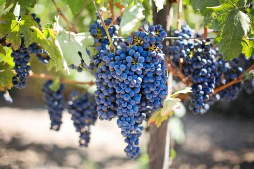 Grapes vineyard vine purple grapes #34383