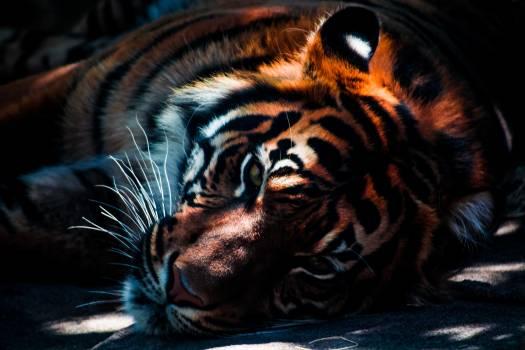 Tiger big cat animal wild animal #34403