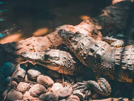 Alligator Reptile Crocodile #344925