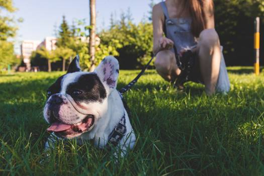 Black and White French Bulldog Lying on Green Grass #34507
