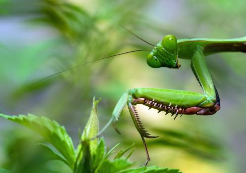 Mantis Insect Arthropod #345353