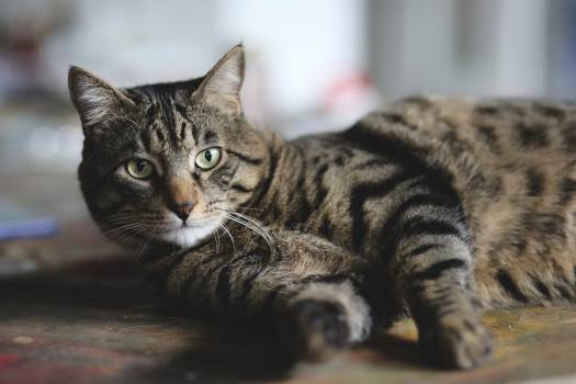 Tabby Domestic cat Domestic animal #345445