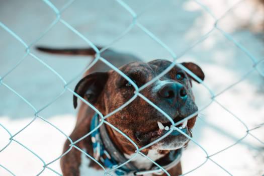 Boxer Dog Canine #346392