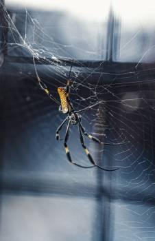 Spider Arachnid Black and gold garden spider #347612