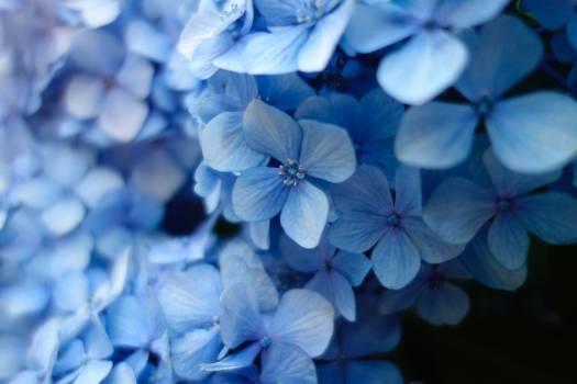 Plumbago Herb Vascular plant Free Photo