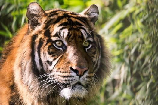 Tiger Big cat Feline #349183