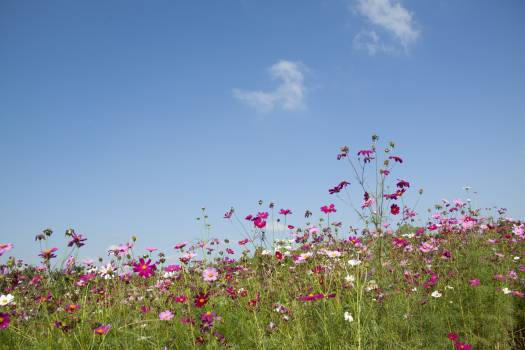 Purple and Pink Flowers Under White Clouds during Day Time Free Photo
