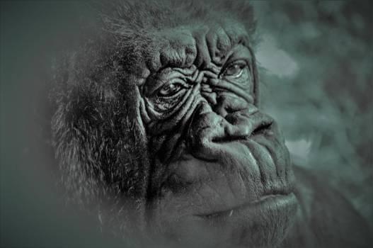 Gorilla Ape Statue #349737