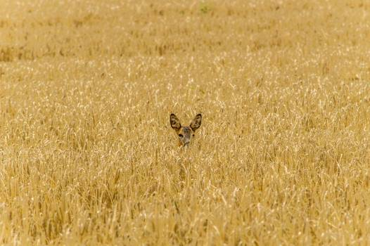 Wheat Cereal Bustard #349840
