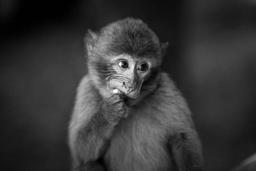 Macaque Monkey Primate #350114