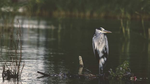 Gray and Black Bird in Body of Water during Daytime #35013