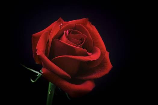 Rose Bud Petal Free Photo