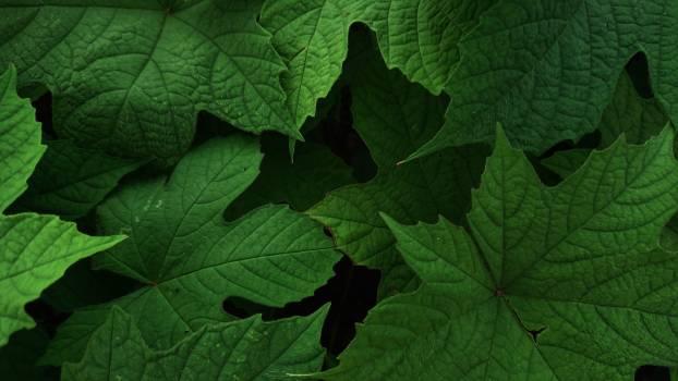 Maple Plant Leaf Free Photo