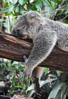 Koala Mammal Wildlife Free Photo