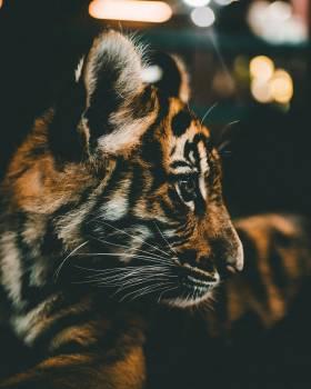 Tiger Feline Cat #350859