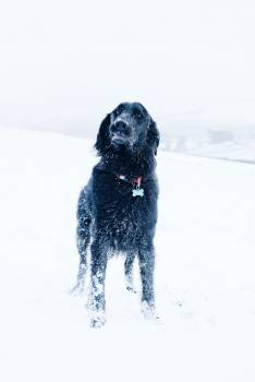 Flat-coated retriever Retriever Sporting dog #351072